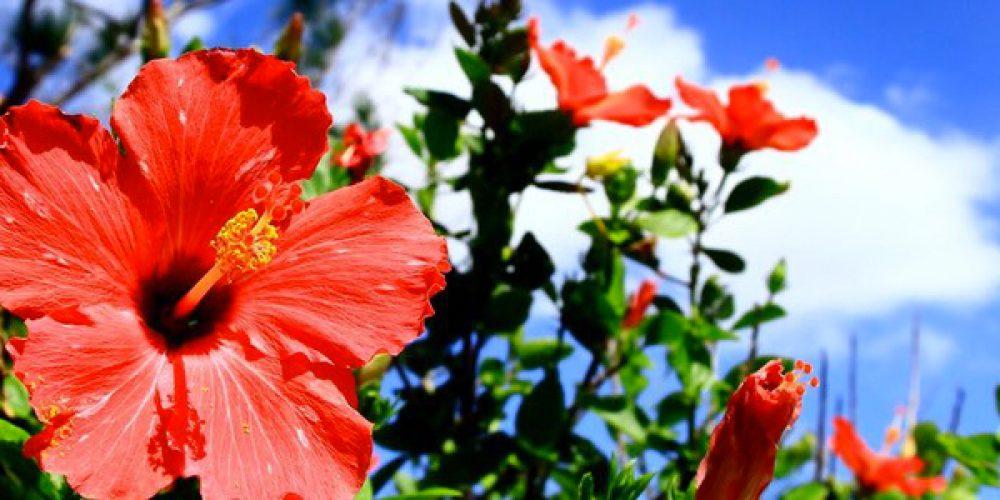 Les Hibiscus : des plantes qui font la beauté de votre jardin