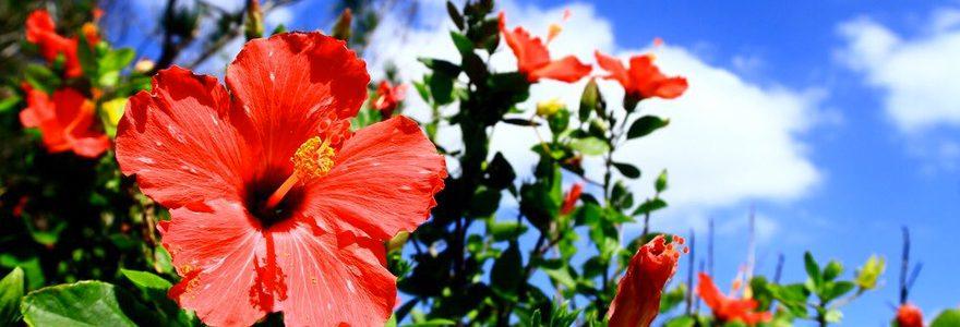 L\'hibiscus : une somptueuse plante tropicale facile d\'entret